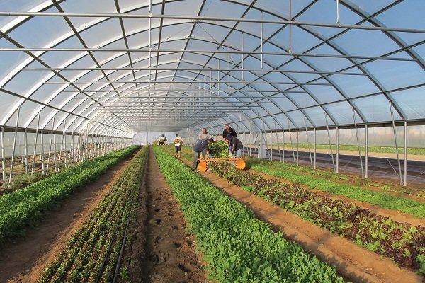 اشتغال حوزه کشاورزی استان بوشهر گسترش می یابد، توسعه گلخانه ها