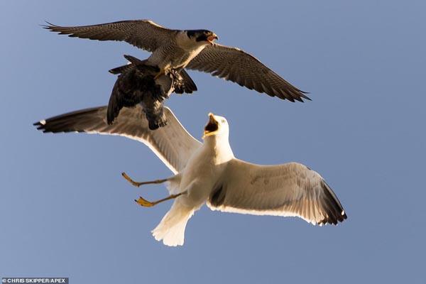 تصویر برگزیده حیات وحش؛ حمله مرغ دریایی به یک شاهین
