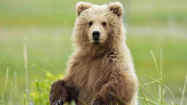 مقاله: تعبیر خواب خرس، تماشا خرس در خواب چه مفهومی دارد؟